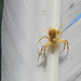 Crab Spider not well camouflaged on a Swan feather