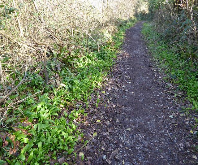 Wild Garlic along Fishchowter's Lane