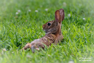 Resting Rabbit | by RT Reflections