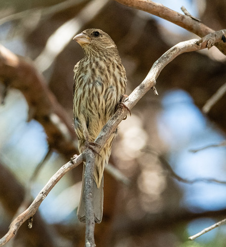 female_house_finch-20180627-100