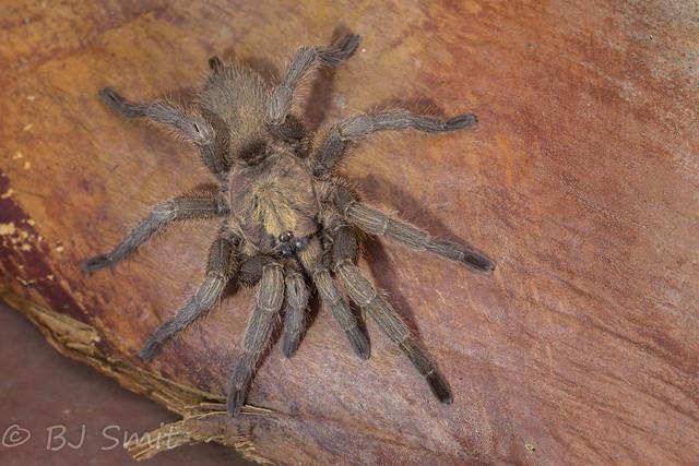 Black Tarantula (Chaetopelma olivaceum)