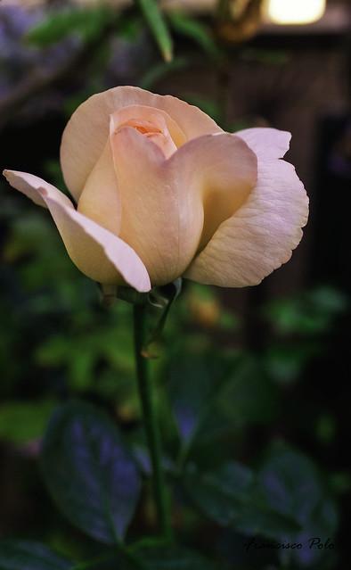 Flores y plantas de, Fujifilm X-T1, XF16mmF1.4 R WR