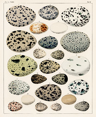 Oken Eggs - taf. 6 (1843) by Lorenz Oken (1779-1851), a collection of different eggs of different species of birds. Digitally enhanced from our own original plate.