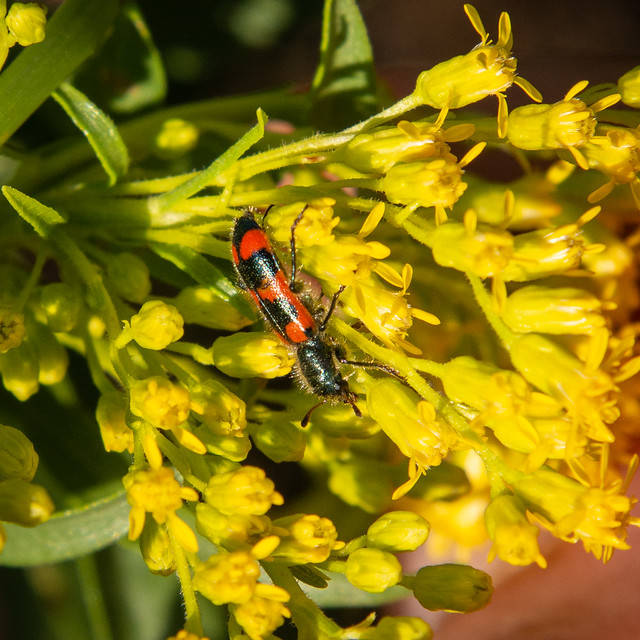 Red-blue checkered beetle on low goldenrod