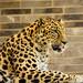 Amur Leopard by Eric Tischler