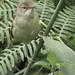 Reed Warbler-3