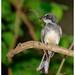 Northern Fantail (Rhipidura rufiventris) (17 centimetres) - Fogg Dam