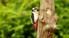 HolderGreat spotted woodpecker