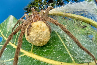 Nursery web spider (cf. Nilus sp.) - DSC_2887