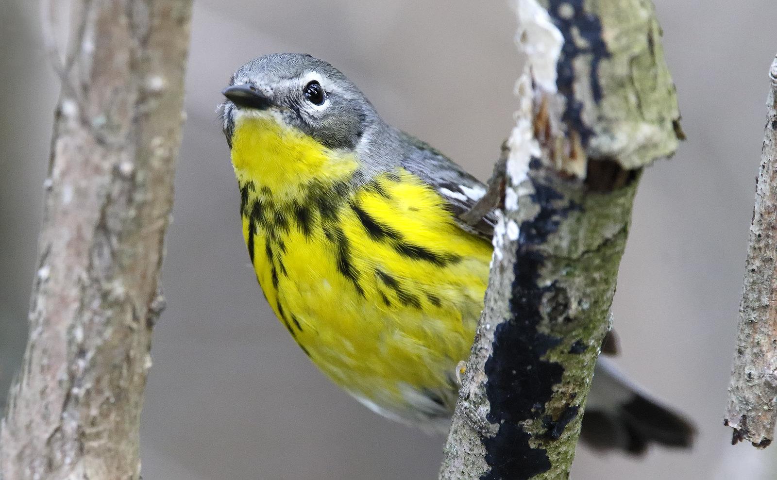 Magnolia Warbler [male]