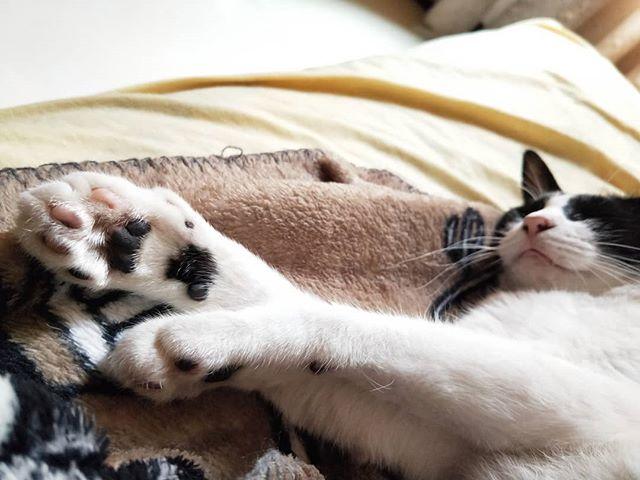 20180620 宅貓日常 #戴家黑糖蜜 #cats #livingwithcats #黑糖蜜的小熊們
