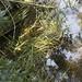 Floating sweet grass - Glyceria fluitans