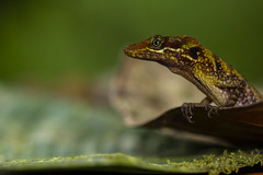Speckled Anole (Anolis ventrimaculatus)