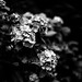 Flowers with No colors by moaan