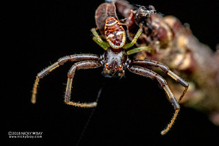 Crab spider (Synema imitator) - DSC_6066