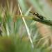 P7170096 parasitic wasp