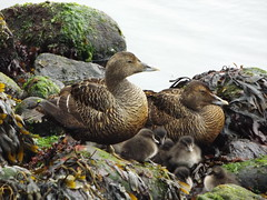 Eider Ducks with Ducklings, Kirkjubøur, Faroe Islands, 14 July 2018