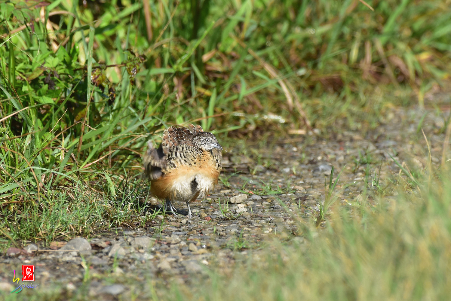 Barred_Buttonquail_3728