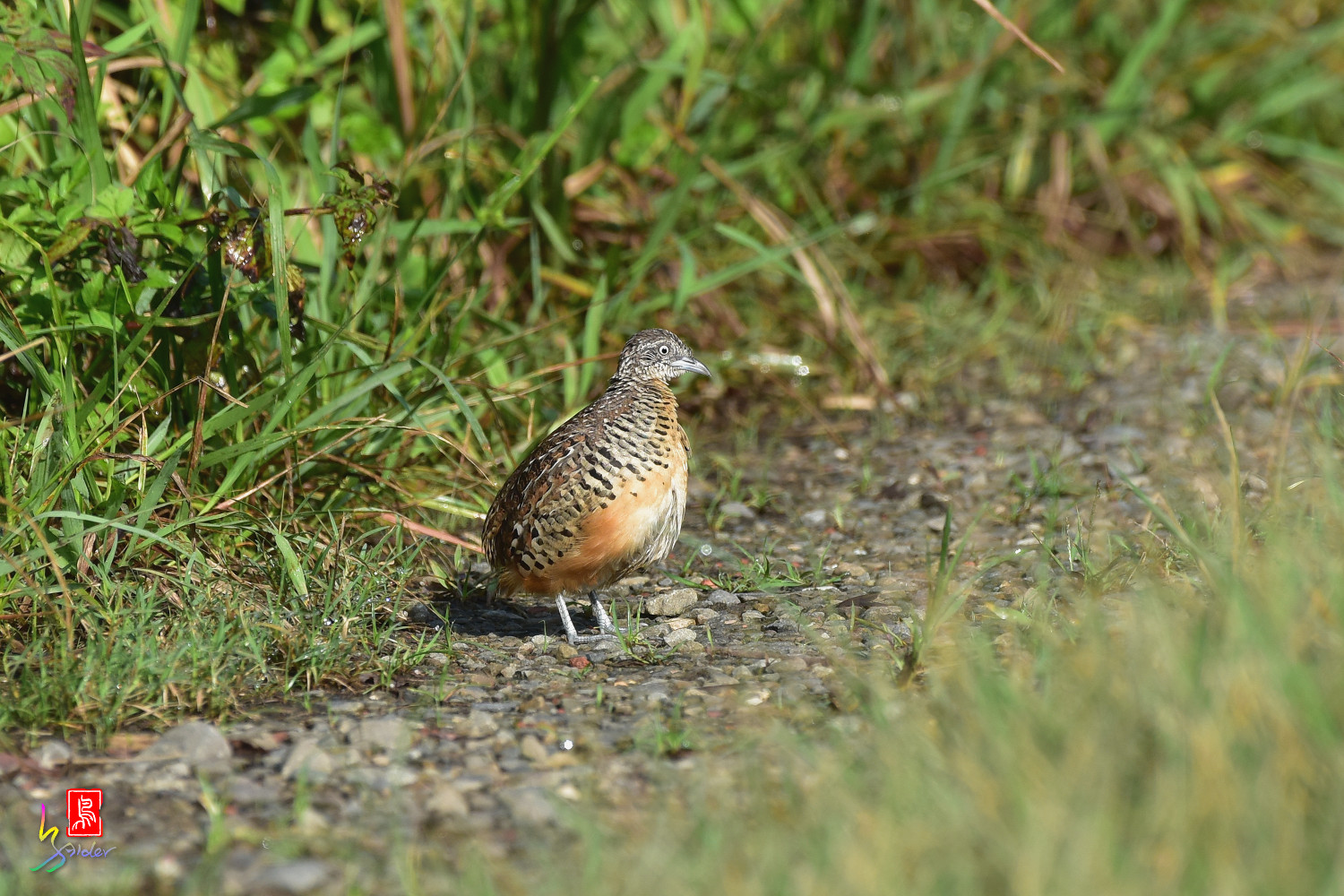 Barred_Buttonquail_3699