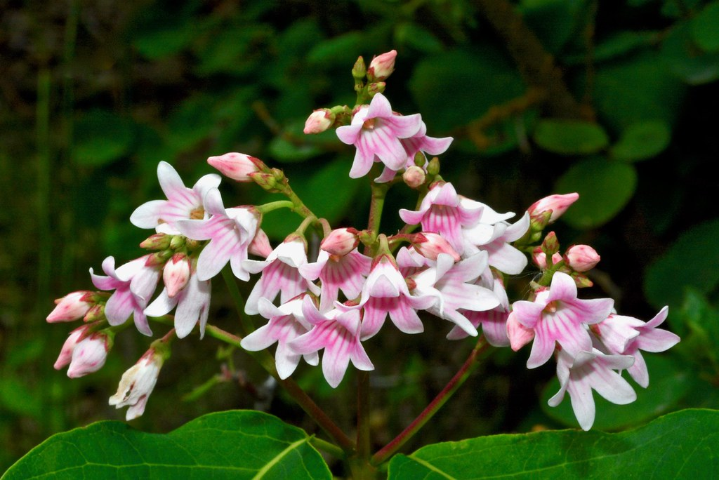Apreading Dogbane