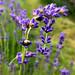Beetle in lavender