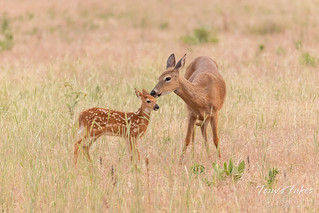 Tender moments between White-tailed Deer fawn and doe