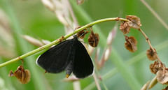 Chimney Sweeper (Odezia atrata)