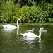 Swans & Cygnets near Picketts Lock, River Lee Navigation