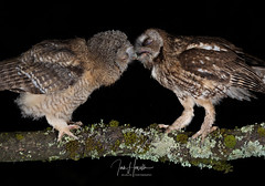 Tawny Owl and owlets