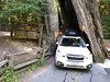 Drive-thru redwood tree