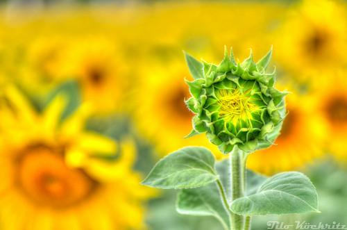 Nahezu geschlossene Sonnenblumenknospe