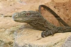 Crocodile Monitor - Varanus salvadorii