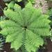 Dicksonia-antarctica_Kew