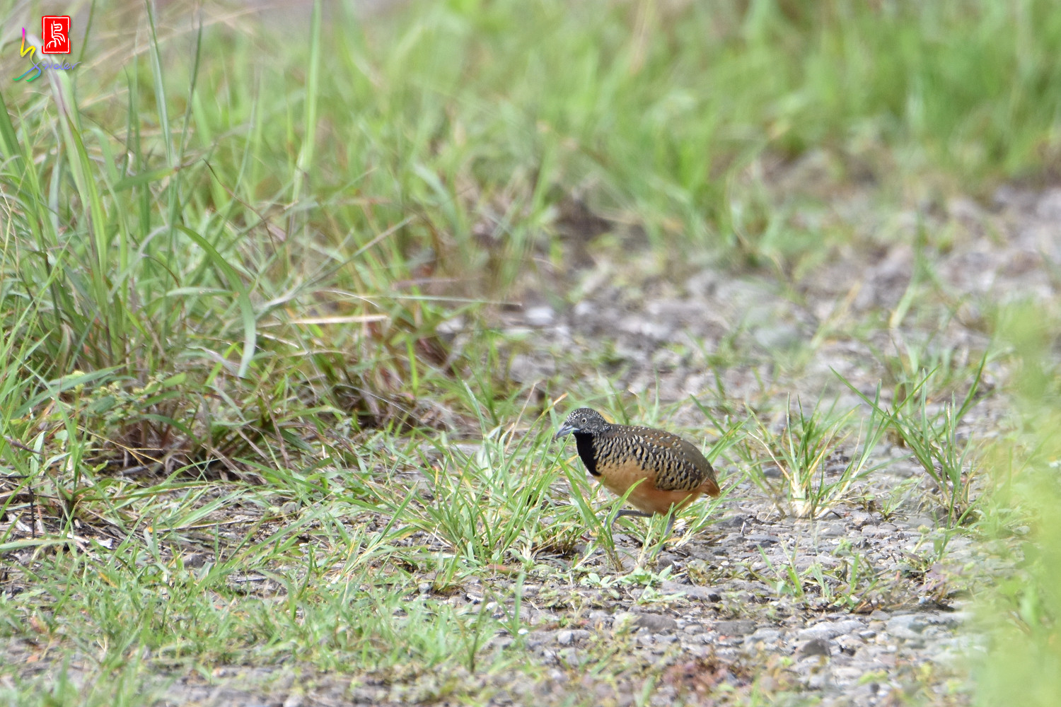 Barred_Buttonquail_2234