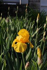 Iris jaune des jardins mai 2018