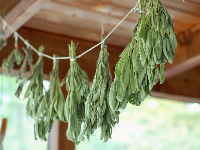 Drying fresh sage by Eve Fox, The Garden of Eating blog, copyright 2013