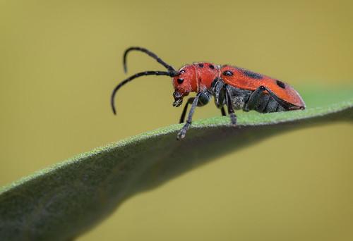Milkweed Beetle - Tetraopes tetrophthalmus