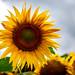 Sonnenblumen by Fritz Lehmann