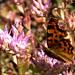 Comma Butterfly, in the garden