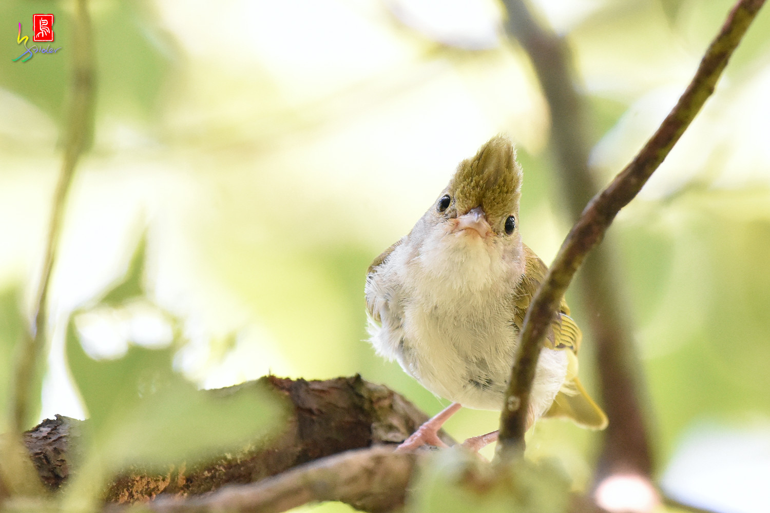 White-bellied_Yuhina_9749
