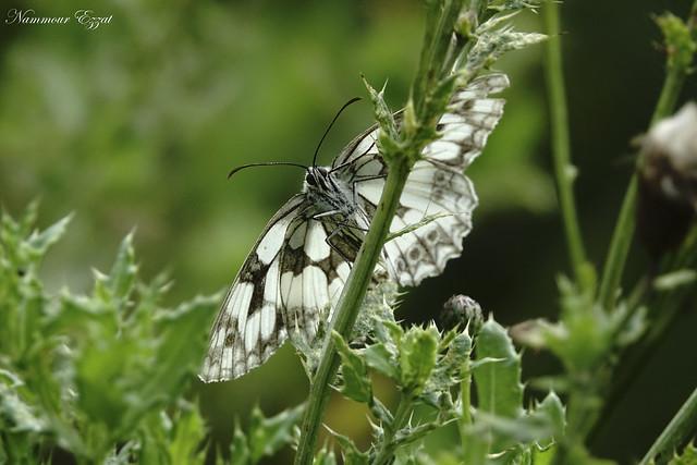 Le Demi-Deuil ou l'Echiquier Melanargia galathea Marbled white
