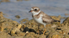 Semipalmated Plover- Hudson Beach