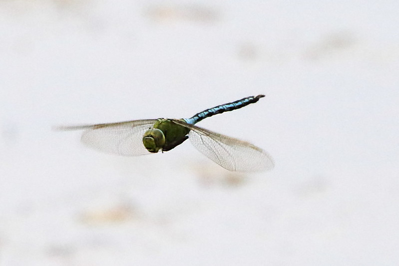 Male Broad Bodied Chaser in flight