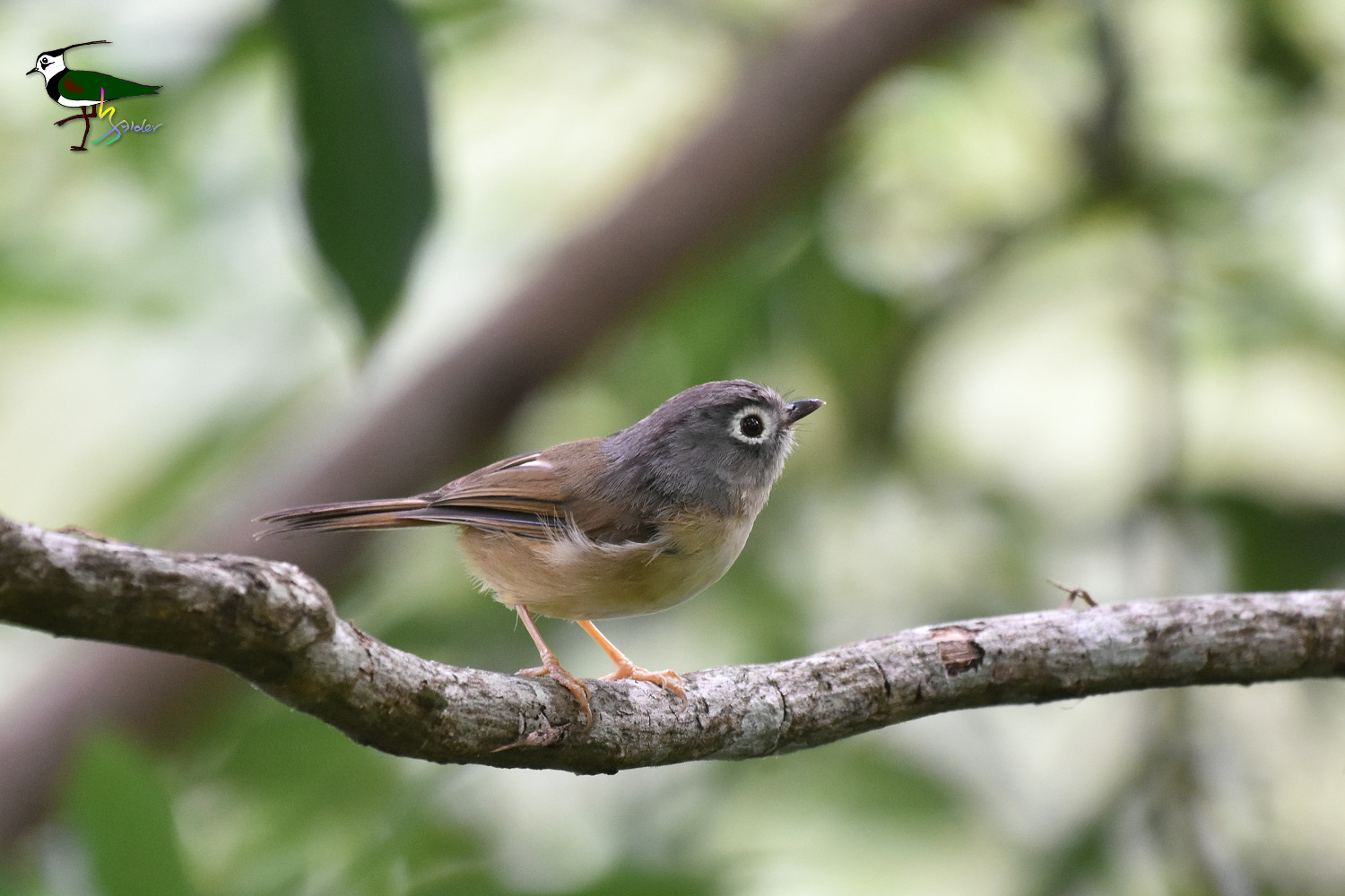 Gray-cheeked_Fulvetta_2228