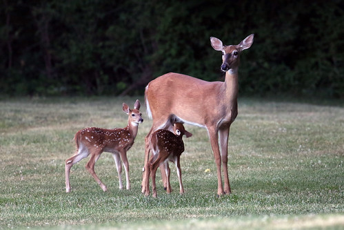 Doe with two fawns....6O3A7982A