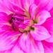 Pink Dahlia (III), 6.7.18