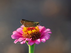 Common straight swift butterfly (イチモンジセセリ) on a zinnia flower (ヒャクニチソウ,