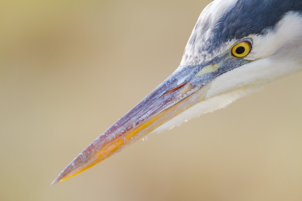 A close-up view of a a great blue heron's face and beak