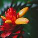 Tropical Ginger Flower