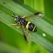 Hoverfly sp. - Chrysotoxum bicinctum